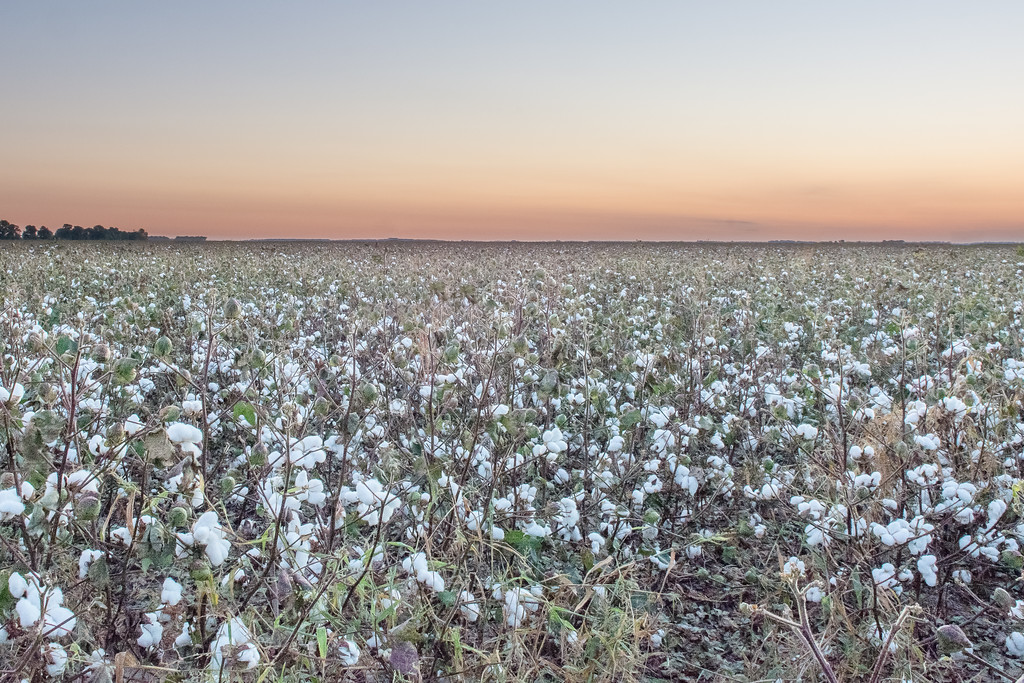 Mississippi Delta Cotton Field
