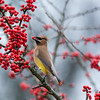 Cedar Waxwing In A Red Berry Tree