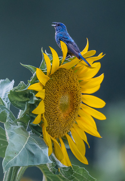 Indigo Bunting Singing On A Sunflower