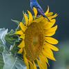 Indigo Bunting Singing On A Sunflower