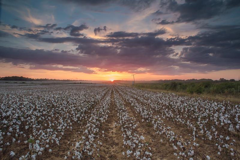 Cotton Row Sunset