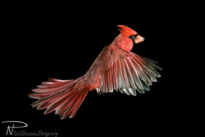016 - Male Cardinal in Flight