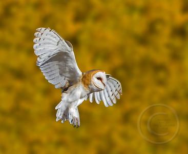 Barn Owl Braking