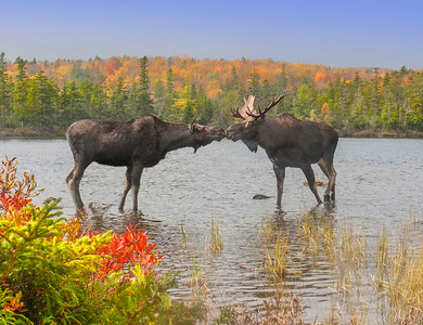 Moose Smooch