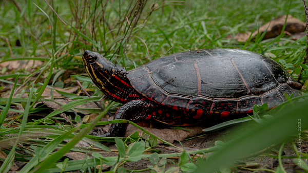 A Turtle in Racing Red!