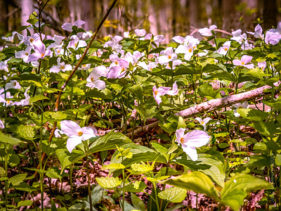 Trillium's Carpeting the Forest by the Thousands