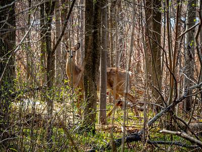 Deer, yes in the back!