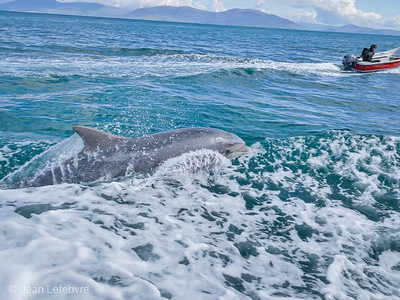 Fungie the Dingle Dolphin