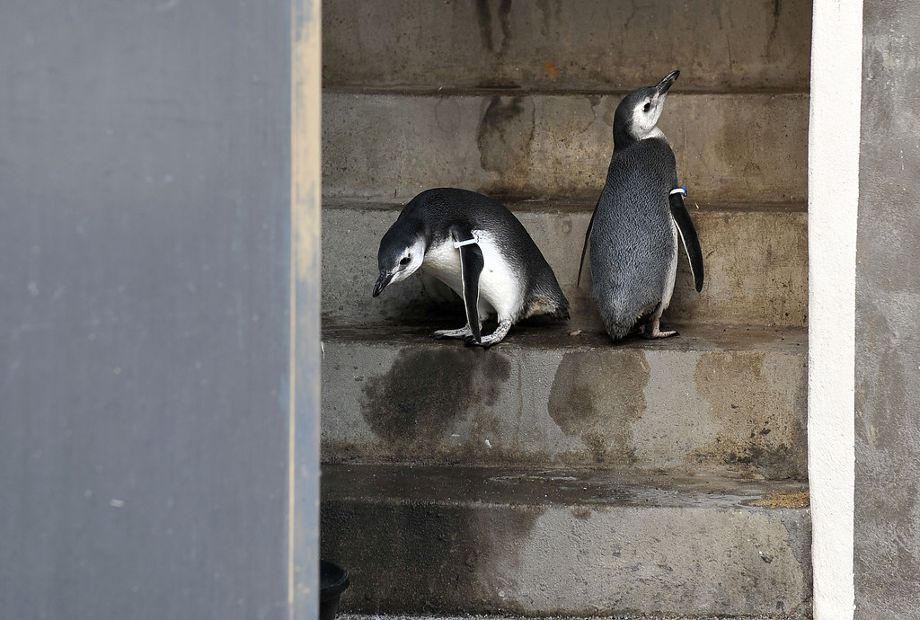 . 9/10/13 - These two Magellanic Penguin chicks made their way into the world, hatching at the Aquarium of the Pacific in late June. They were being cared for behind the scenes until Tuesday morning when the were introduced into the June Keyes Penguin Habitat with their mother and other penguins.  (Photo by Brittany Murray/Press Telegram)