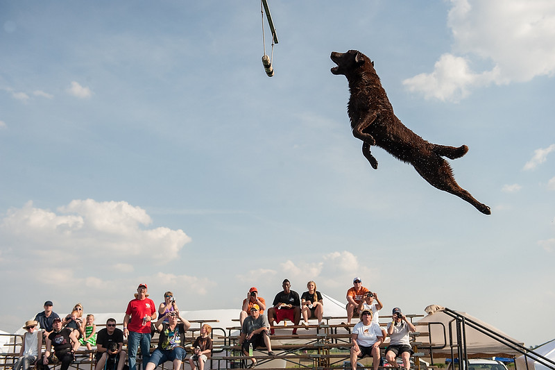 DockDogs Competition, Belvidere, Illinois.  Guiness- black dog with white chest Henry- mixed breed, tan, name on blue collar Wrigley, grey, lean dog Assign ID 30126382A