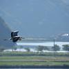 Great Blue Heron in Flight, Kinosaki Onsen