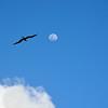 Ewa (Frigate Bird) and Moon, Kilauea Point