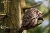 Great-horned Owl grooming .