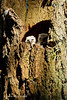 First days for the Owlets,peeking out on a sunny day. You can see that the parent is casting her shadow onto the nest cavity as she sits above them .Mother Owl is staying close to guard her precious brood.