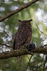 Great Horned Owl with Rabbit