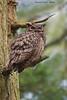 Great-horned Owl.