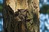 Great-horned Owl on nest.