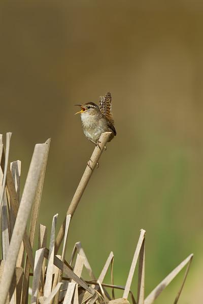 Tiny little Marsh Wren.