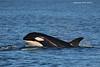 Orca Calf.