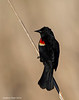 Red-winged Blackbird , male