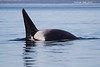 Mature male Transient Orca.