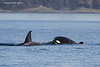 Transient Orca's of Darcey Island. B.C