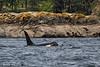Mature Bull Orca.