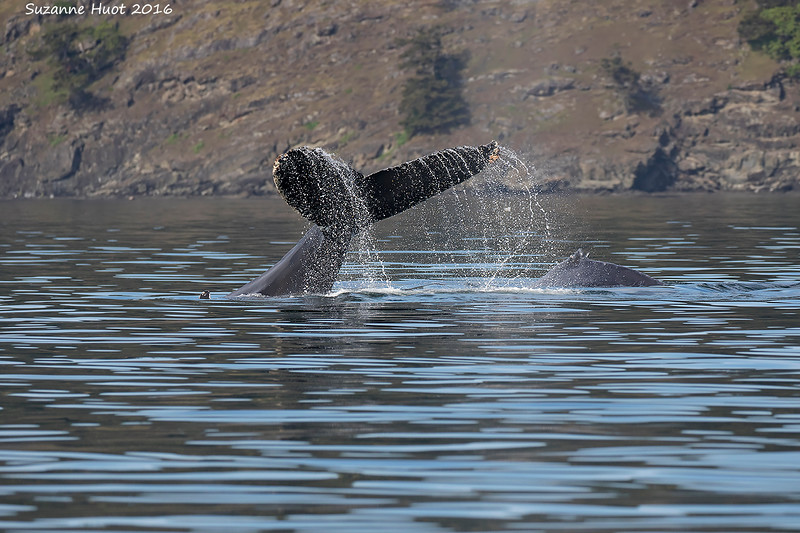Humpback Whale with calf sounding