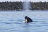 Orca calf spyhopping