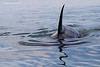 Transient Orca  coming up close to the boat