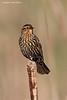 Red-winged Blackbird. female
