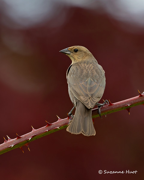 Rusty-headed Cowbird  female
