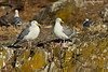 Pair of nesting Glaucous-winged Gulls.