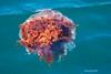 Lions Mane Jellyfish, A jelly with a very nasty sting .swimmers beware.