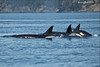 transient Orca calf coming up for air.