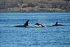 Group of Transient Orcas.