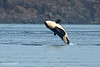 Transient Orca breaching.