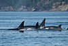 transient Orca pod with calf at the rear.