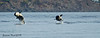 Rare to see a pair of Orca's breach together, Two transient Orca calves.