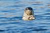 Curious Harbor Seal.