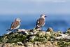 Heermann's Gulls.