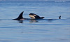 Two transient Orca calves keeping up with the pod.
