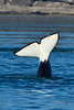 Tail fluke of youngest Orca calf in the Transient pod.