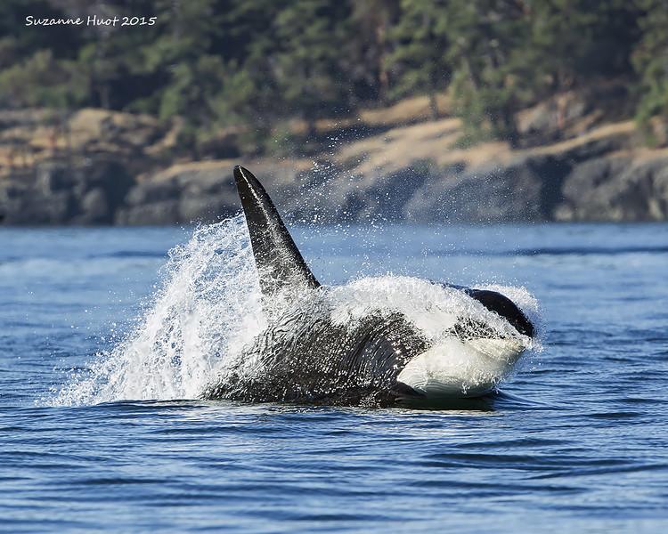 Bull Orca porpoising.