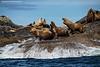 Stellers's Sea Lions