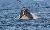 Humpback Whale feeding on small fish.