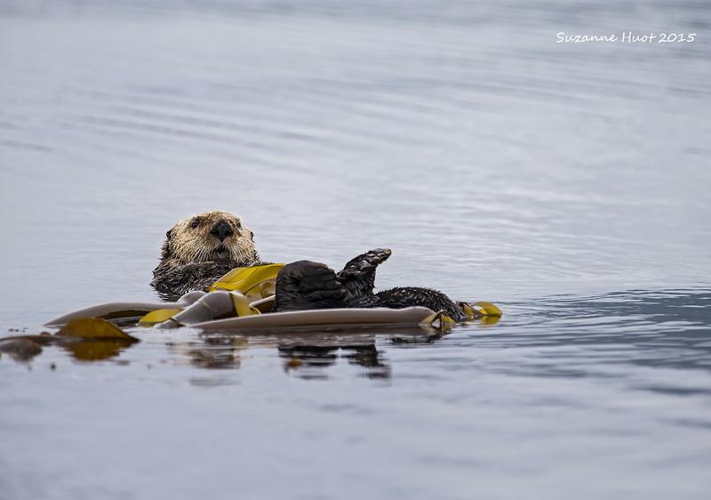 Sea Otter wrapped in Kelp