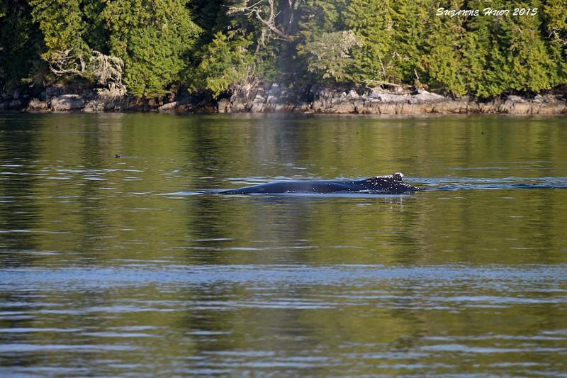 Humpback Whale cruising off Hope Island ,Northern Vancouver Island