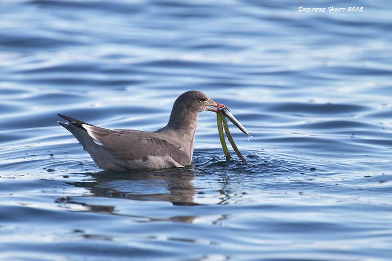 Heerman's Gull with fish