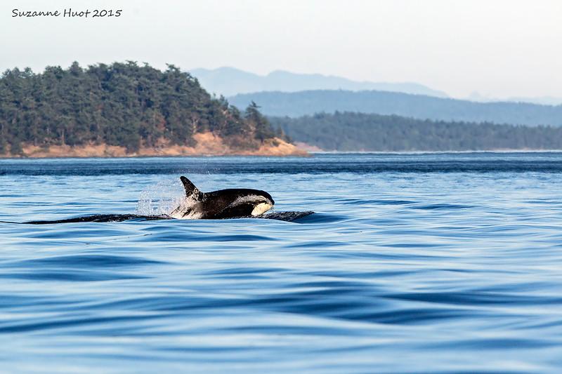 Orca porpoising fast past Henry Island ,Haro Straits.